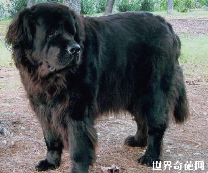 世界十大大型犬排行榜 最忠诚的伴侣